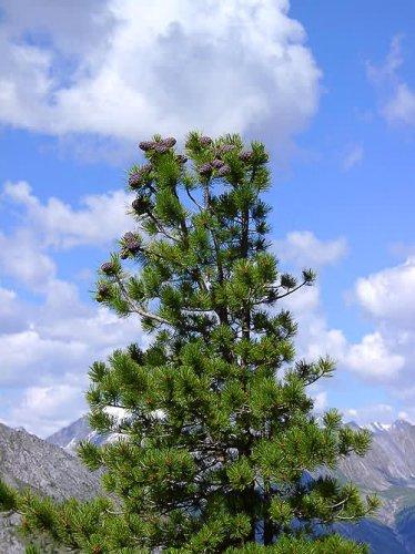 Вы родились 10 февраля, что по календарю Друидов, обозначает, что ваше дерево - Кедр...