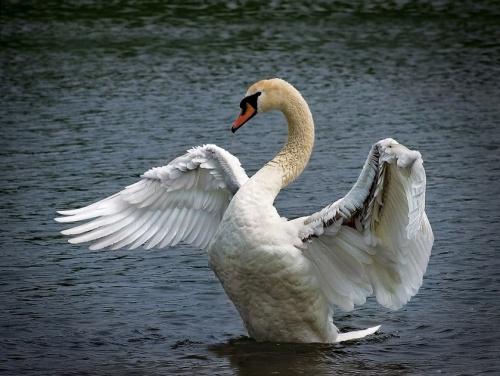 """""""А белый лебедь на пруду."""