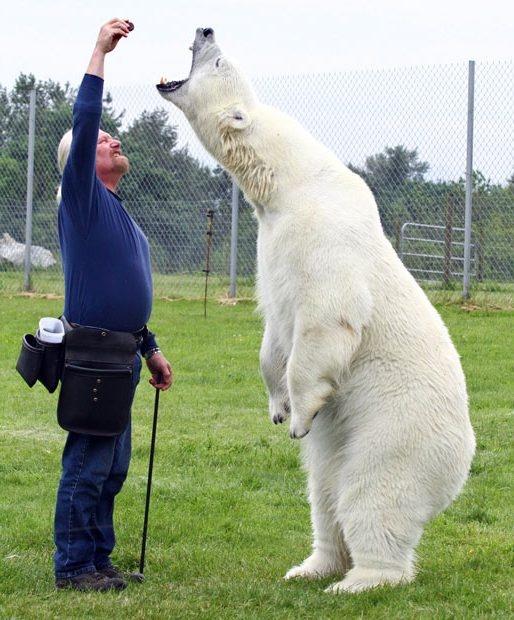 У мужчины сложились просто невероятные отношения с... 60-летний Марк Дюма и его воспитанник белый медведь Эйджи.