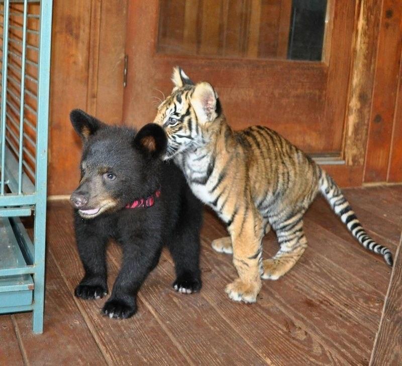 Три друга: лев, тигр и медведь