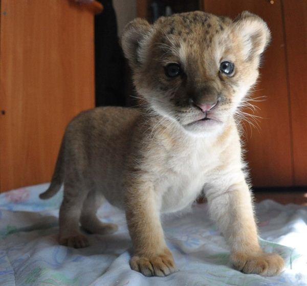Лигрёнок из Новосибирского зоопарка